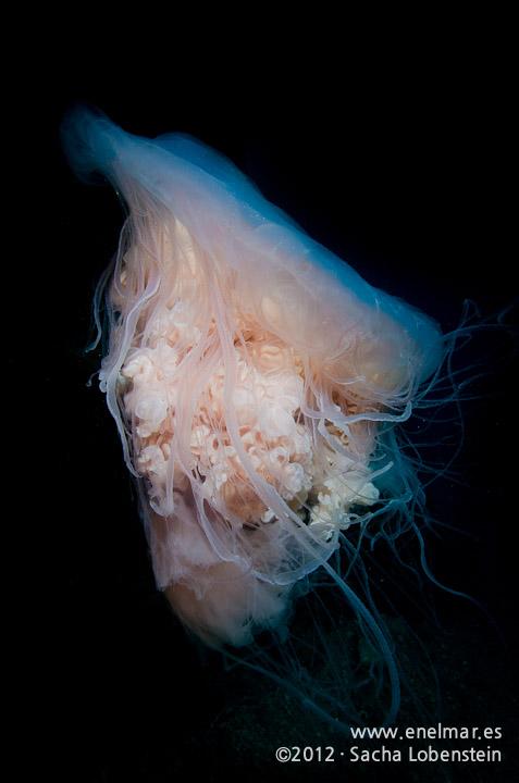 20120211 1111 - enelmar.es - Medusa (Escifomedusa), Muelle de Porís de Abona-2