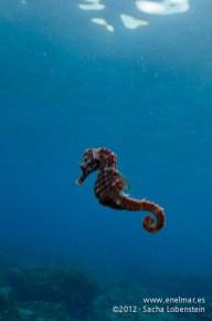 20120212 0954 - enelmar.es - Abades, Caballito de mar (Hippocampus hippocampus)