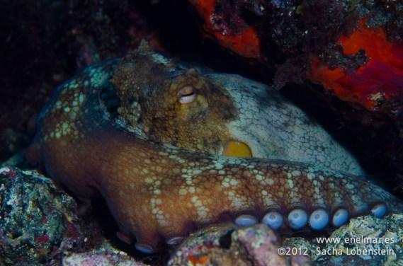 20120219 1022 - enelmar.es - Las Eras, Pulpo (Octopus vulgaris)