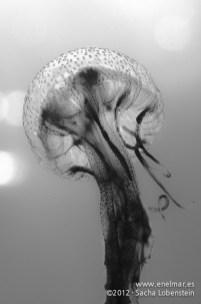 20120221 1300 - enelmar.es - Medusa (Pelagia noctiluca), Muelle de Porís de Abona