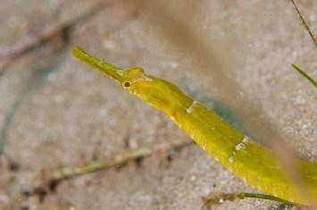20120318 1211 - enelmar.es - Muelle de El Porís de Abona, Pejepipa (Syngnatus typhle)