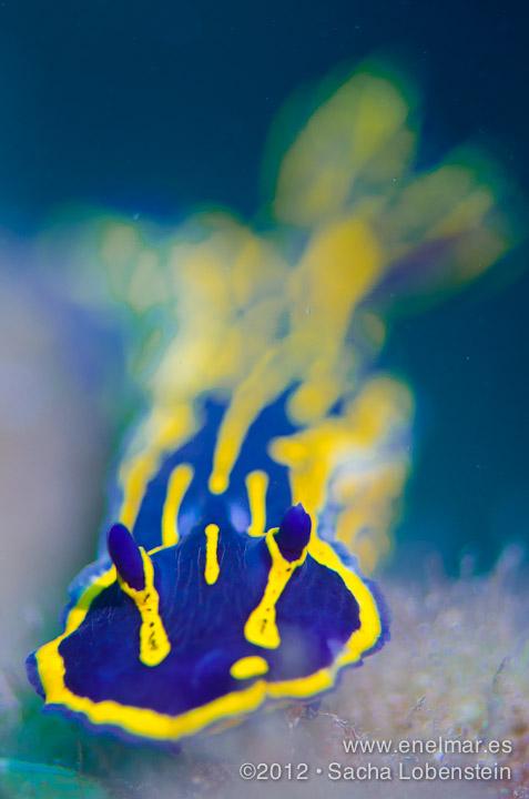 20120407 1205 - enelmar.es - Babosa de mar - Nudibranquio (Hypselodoris picta webbi), Radazul