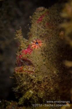 20120415 0835 - enelmar.es - Antenario o Pez esponja (Antennarius nummifer), Radazul