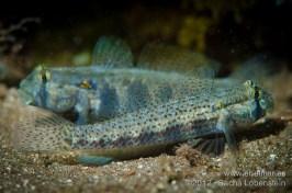 20120415 0913 - enelmar.es - Caboso (Gnatholepis thompsoni), enelmar, fotografía submarina, Sacha Lobenstein