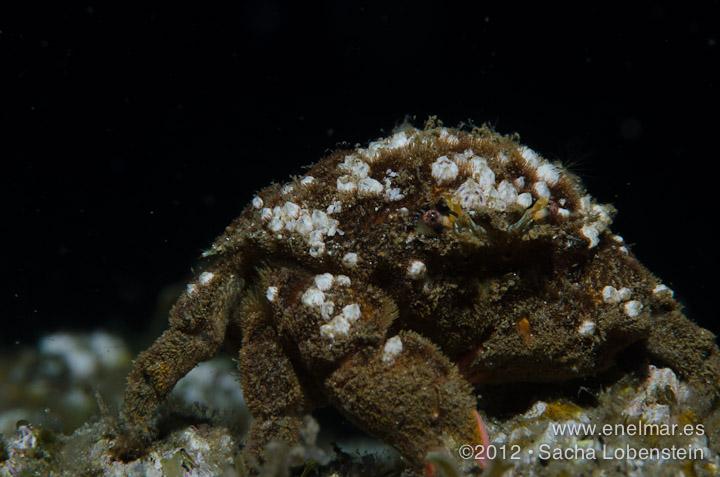 20120421 1551 - enelmar.es - Cangrejo esponja (Dromia spp.), Radazul