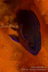 20120421 1643 - enelmar.es - Fula negra (Abudefduf luridus), Radazul