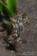 20120428 1415 - enelmar.es - Caballito de mar (Hippocampus hippocampus), Muelle de El Porís de Abona