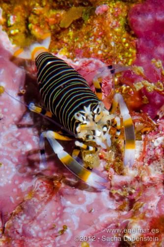 20120506 1108 - enelmar.es - Camarón avispa (Gnathophyllum americanum), Muelle de Puerto de la Cruz
