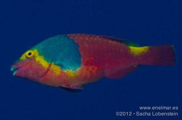20120526 1028 - enelmar.es - Teno, Vieja (Sparisoma Cretense)