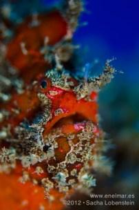 20120710 1722 - enelmar.es - Antenario o Pez esponja (Antennarius nummifer), Radazul