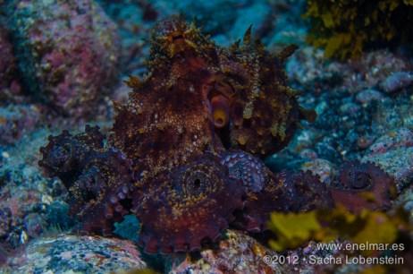 20120726 1823 - enelmar.es - El Arco de Garachico, Garachico, Pulpo (Octopus vulgaris)