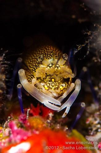 20120817 1841 - enelmar.es - Camarón de lunares (Gnathophyllum elegans), El Tablado