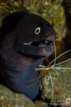 20121013 1215 - enelmar.es - Morena negra (Muraena augusti), Punta Prieta - La Caleta, Sacha Lobenstein