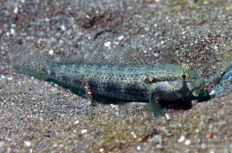 20121020 1650 - enelmar.es - Caboso (Gnatholepis thompsoni), Radazul, Sacha Lobenstein