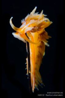 Phidiana lynceus