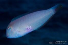 20121206 1245 - enelmar.es - Pejepeine (Xyrichthys novacula), Sacha Lobenstein, Teno
