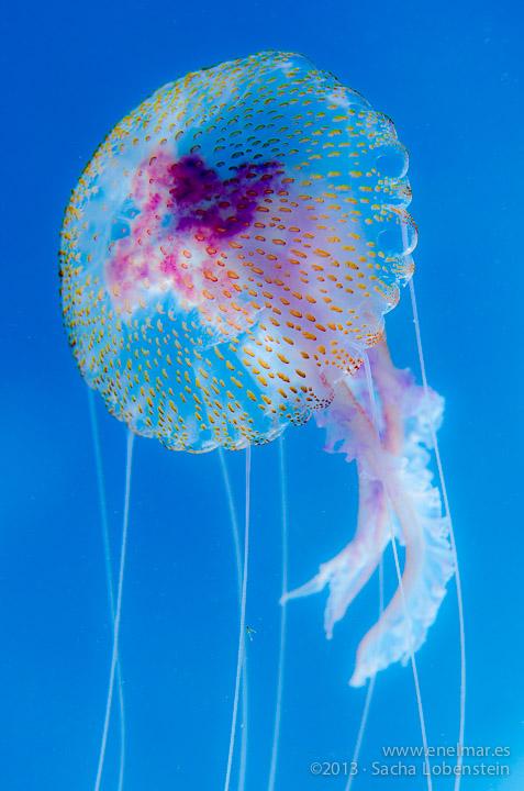 20130209 1211 - enelmar.es - Medusa (Pelagia noctiluca), Muelle de El Porís de Abona