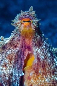 20150517 1219 - enelmar.es - Pulpo (Octopus burryi), Teno - Buenavista del Norte