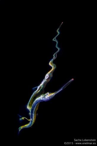 20150525 2244 - enelmar.es - aguja (Belone belone gracilis), Radazul
