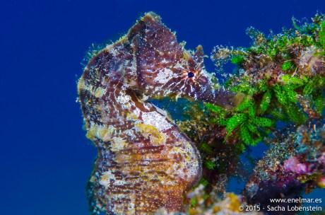 20150626-1330-SachaLobenstein-enelmar.es-caballito de mar (Hippocampus hippocampus), Playa Chica < Puerto del Carmen