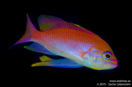20150628-0934-SachaLobenstein-enelmar.es-Fula tres colas (Anthias anthias), Playa Chica < Puerto del Carmen
