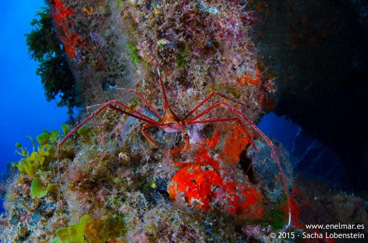 20150704-1430-SachaLobenstein-enelmar.es-cangrejo araña (Stenorhynchus lanceolatus), Muelle de El Porís de Abona