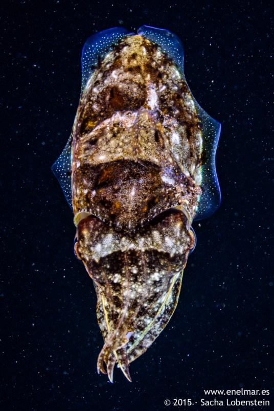 20150806-2204-SachaLobenstein-enelmar.es-Choco (Sepia officinalis), Playa de Las Teresitas-2