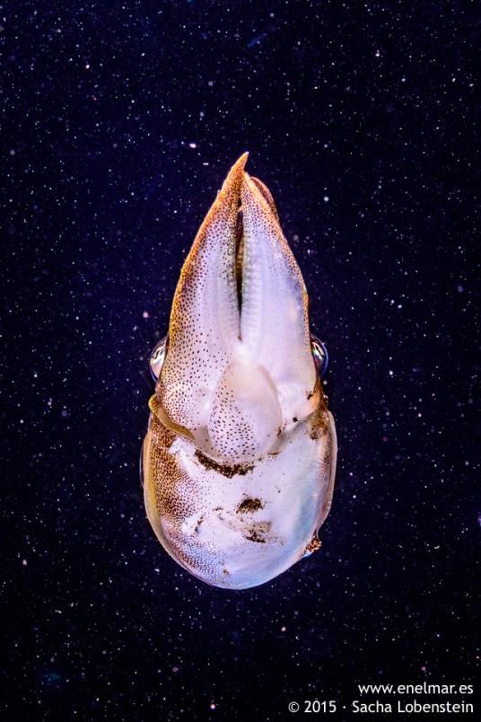 20150806-2204-SachaLobenstein-enelmar.es-Choco (Sepia officinalis), Playa de Las Teresitas
