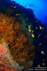 20150815-1047-SachaLobenstein-enelmar.es-Baja del Realejo, Coral negro