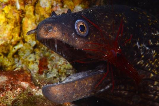 Primer plano pez de morena pintada con gamba limpiadora en la inmersión de la Llosa de Garbi — en Sant Feliu de Guíxols.