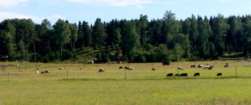 tyresta får