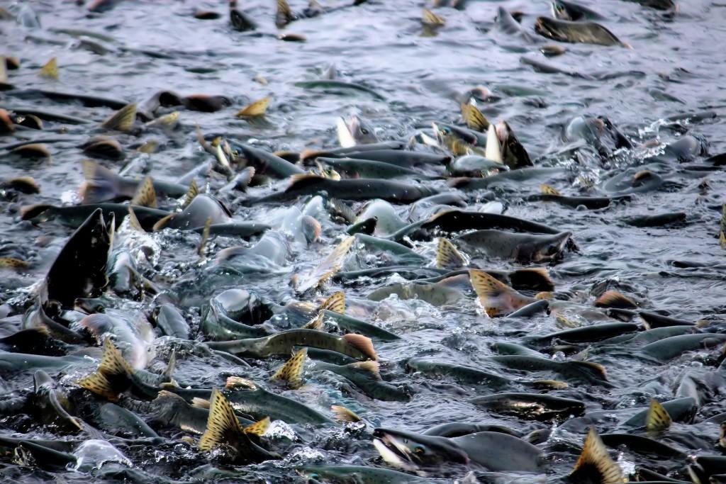 Estrogeni nelle acque di scarico: il caso della femminilizzazione dei pesci