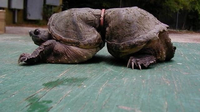 Storia della tartaruga e dell'anello che le cambiò la vita