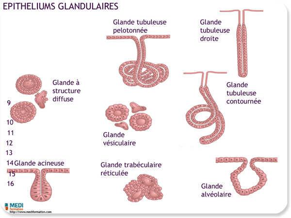 cellule a grain intérieur