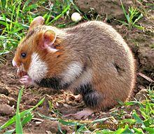 hamster a vendre