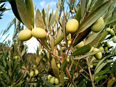 160204olivový olej inside - Test, jak snadno rozpoznat falešný olivový olej
