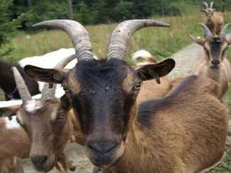 ff028b4f9403a10751ba14cfb0c9a451 - Vadí vám kravské mléko? Zkuste třeba kozí!