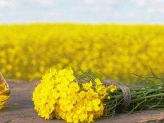 Řepkový olej podporuje fibrózní léze srdce. Lze opravdu řepkový olej používat na smažení?