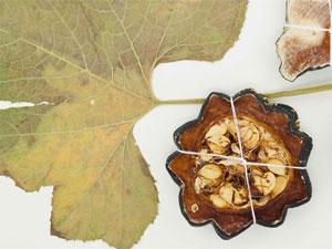 NYBG plant specimens