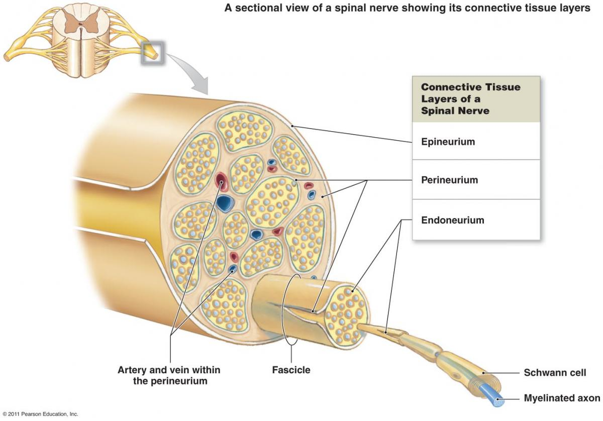 Diseases Of The Peripheral Nerves