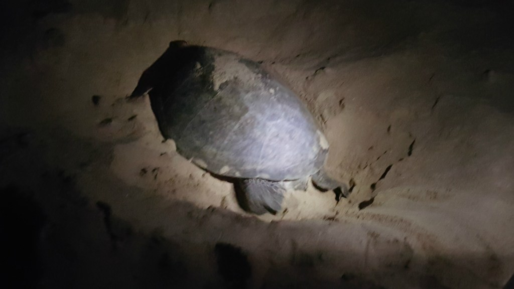 Havskildpadden dækker sine æg til