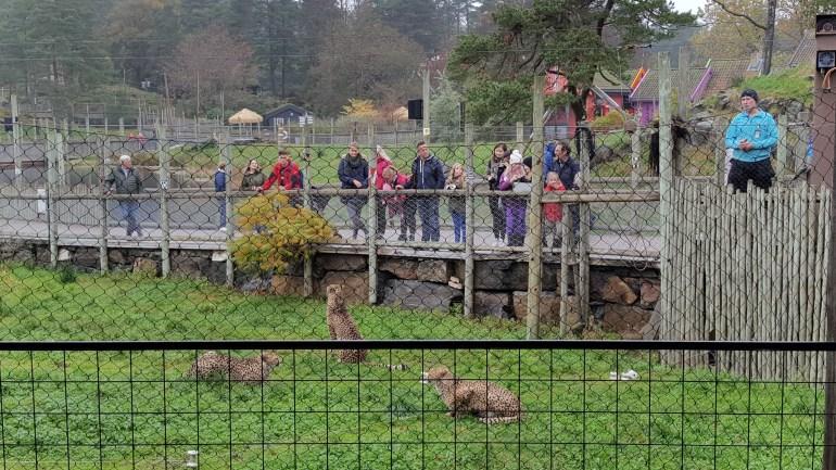 Præsentation af geparderne i Dyreparken