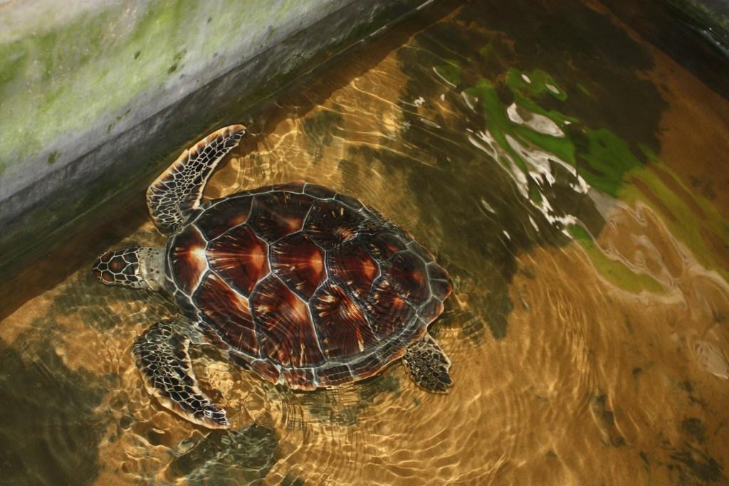 havskildpadde_Sri_Lanka_4