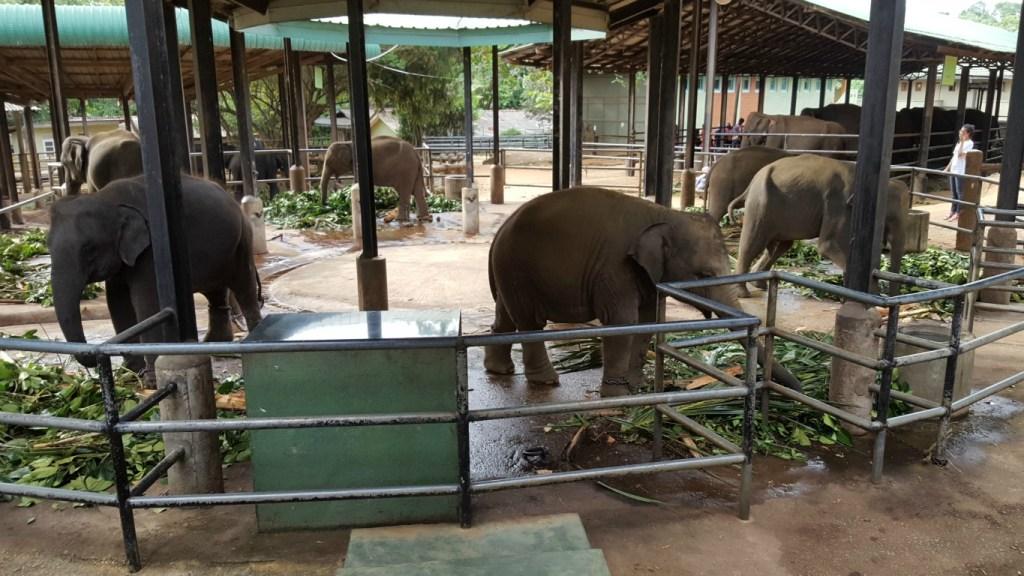 Pinnawala_Elephant_Orphanage_2