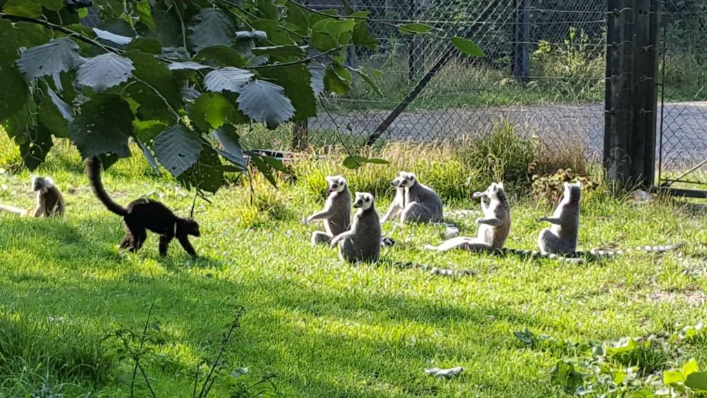 Knuthenborg_lemur