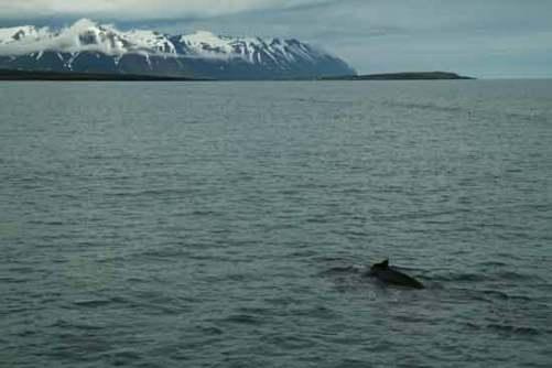 islande fjord baleine