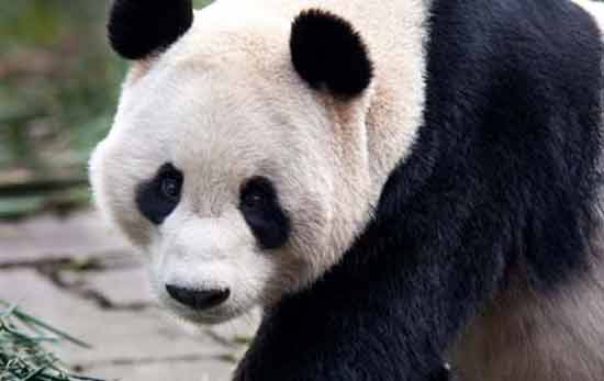 panda-géant-zoo-edimbourg