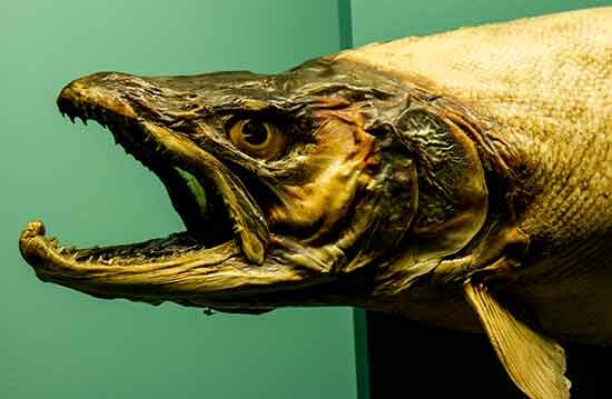 museum-de-genève-poisson