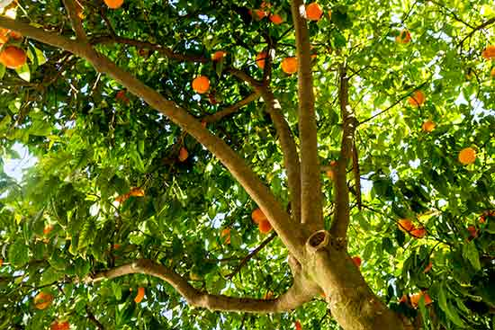 oranger-lisbonne