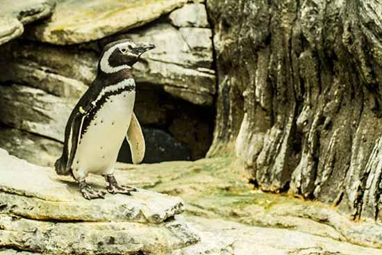 pingouin-de-magellan-oceanorium-lisbonne